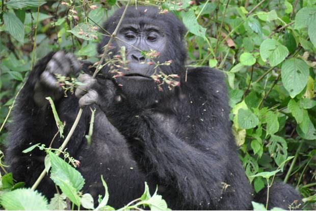 Gorilla- tracking-Africa