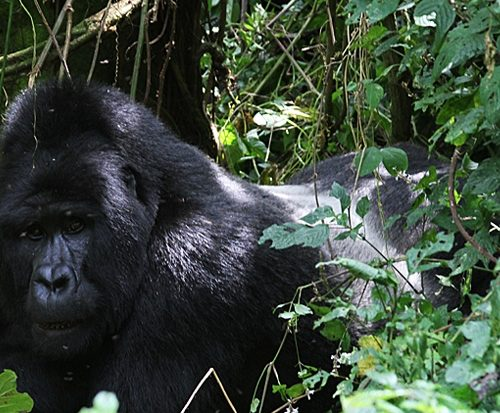 Gorilla-tracking-Uganda