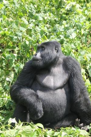Gorilla-Tracking-Uganda-Buhoma