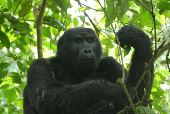 Gorilla-Trekking-Permit